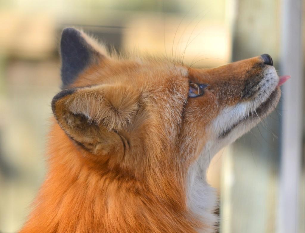 fox-1123443_1280